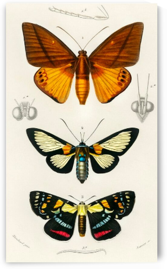 Collection of moths illustrated by Mutlu Topuz