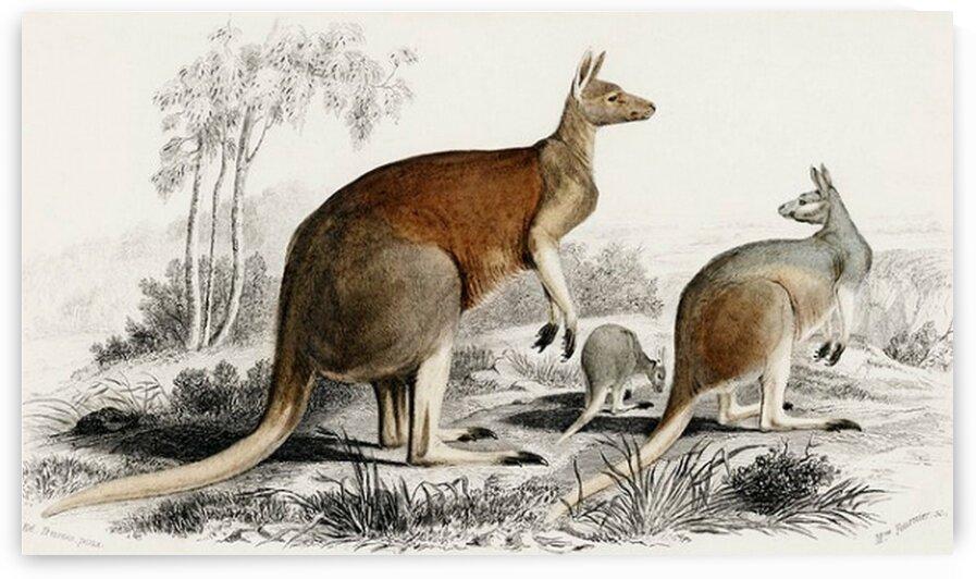 The red kangaroo Macropus rufus illustrated by Mutlu Topuz