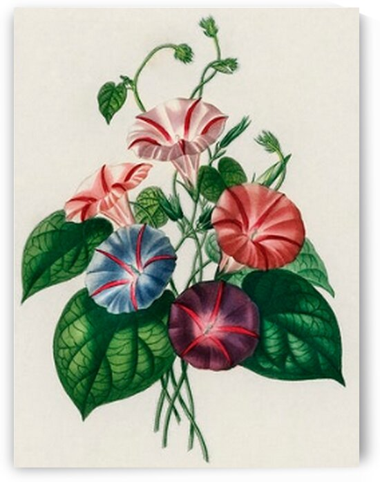 Morning-glory Pharbitis hispida illustrated by Mutlu Topuz