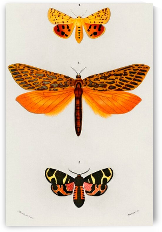 Different types of moths illustrated  by Mutlu Topuz