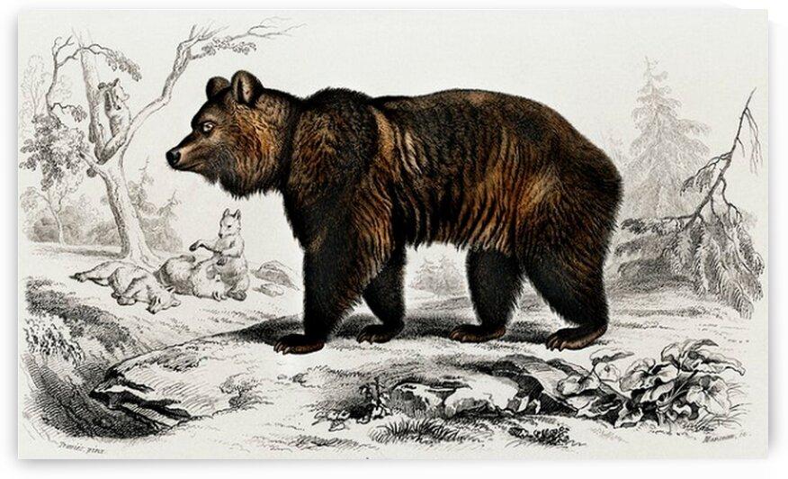 Brown Bear Ursus Arctos illustrated by Mutlu Topuz