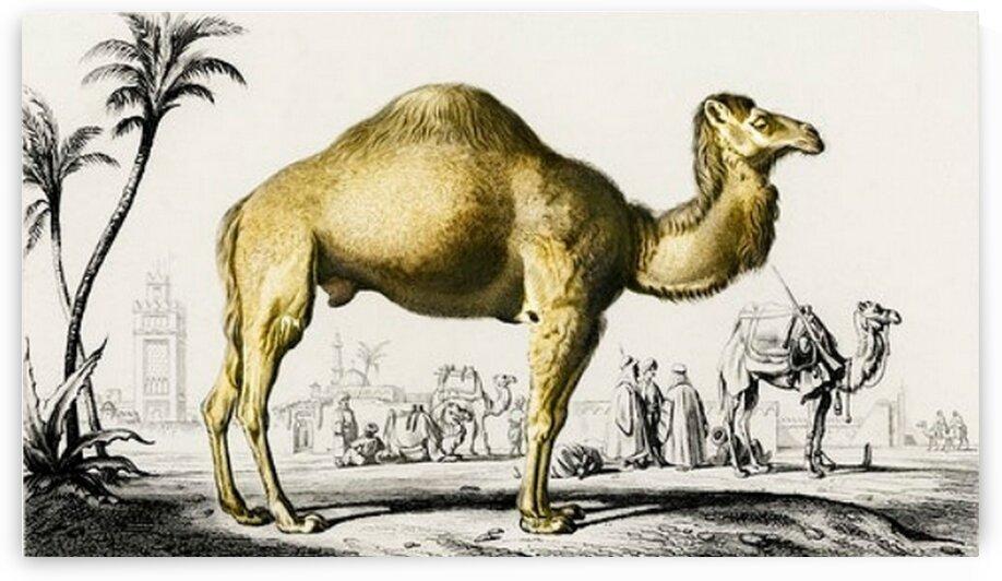Camel Camelus illustrated by Mutlu Topuz