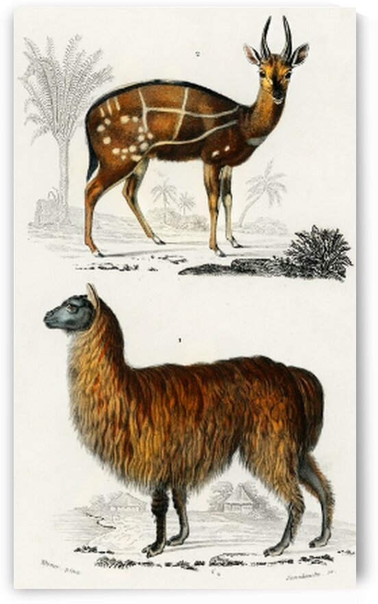 Alpaca Vicugna Pacos and Antilope guib illustrated by Mutlu Topuz