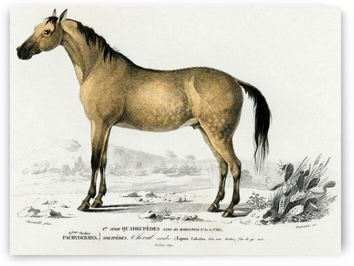 Horse Equus ferus caballus illustrated by Mutlu Topuz