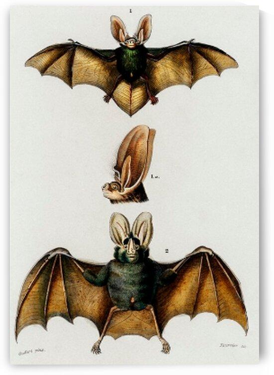 Plecotus illustrated by Mutlu Topuz