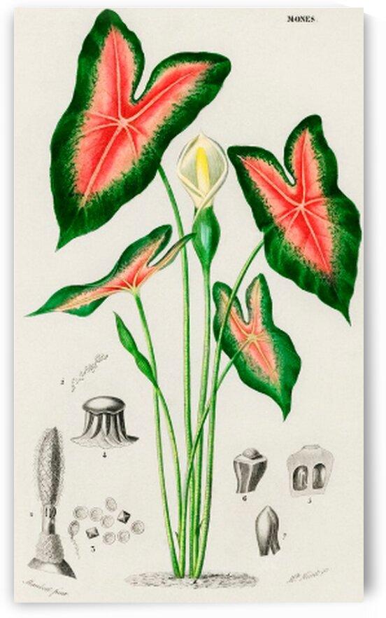 Elephant ear Caladium bicolor illustrated by Mutlu Topuz