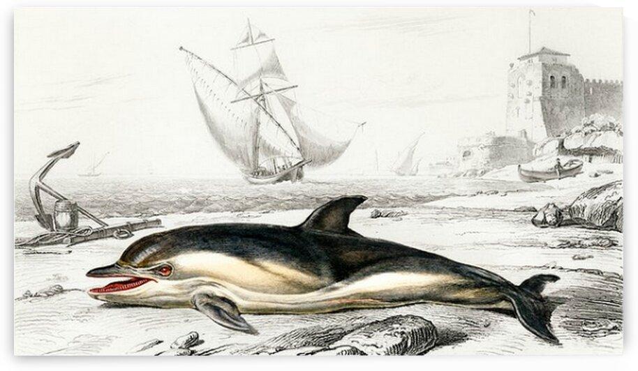 Delphinus delphis illustrated by Mutlu Topuz