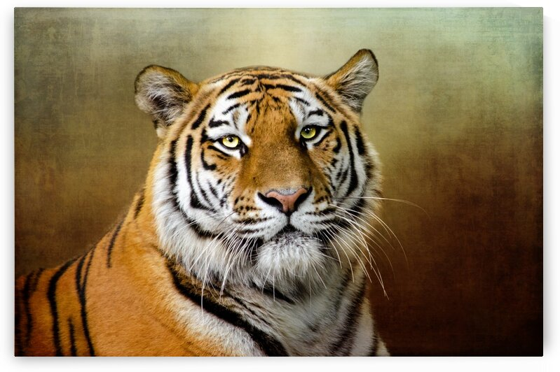 Bengal Tiger by Michel Soucy