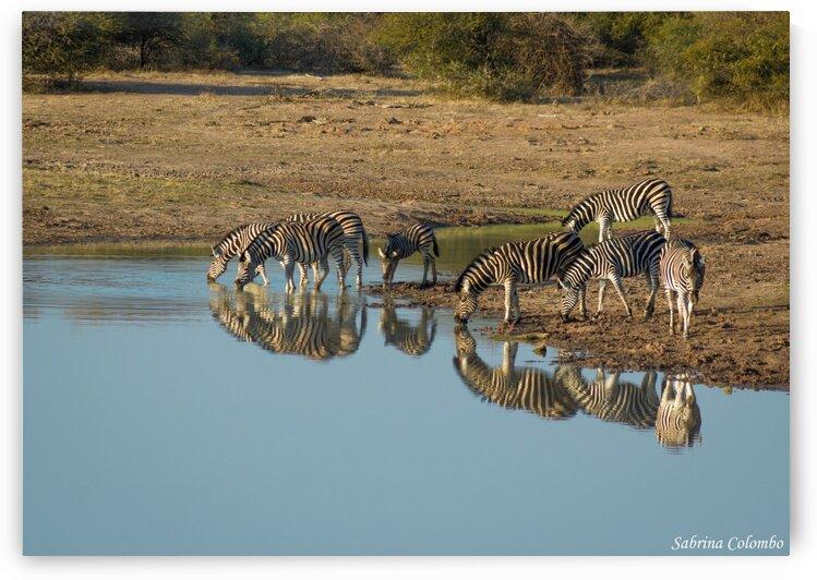Zebras reflection at sunrise by Sabrina Colombo