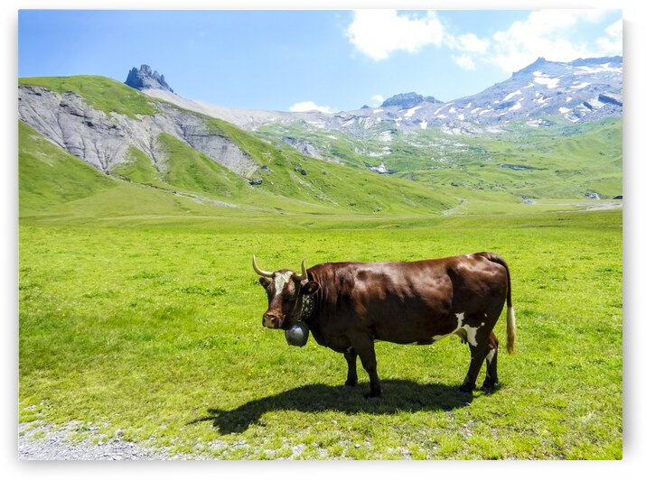 High Alps Cow in Switzerland by 1North