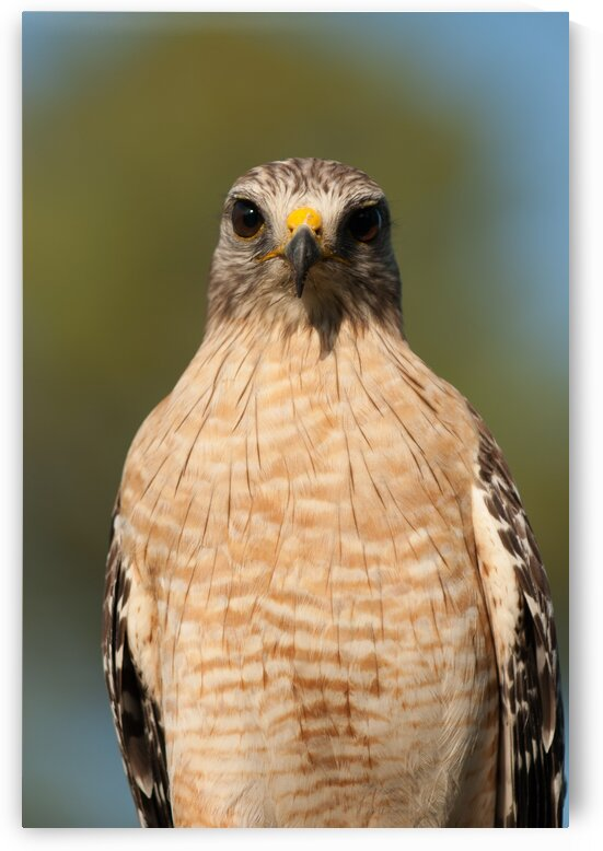 Red Shouldered Hawk 0660 by Rob Clements