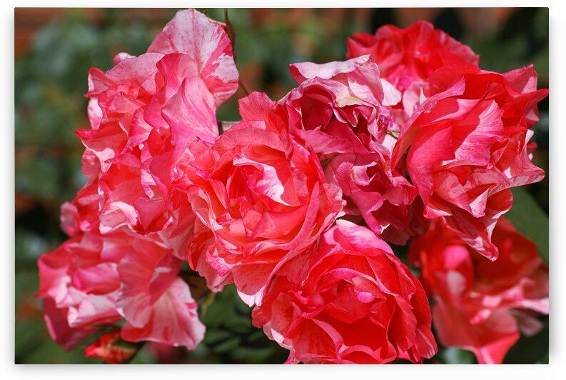 Grimaldi Rose Red Variegated  by Joy Watson