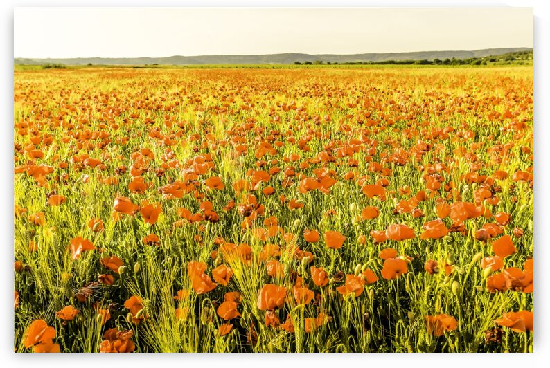 Poppy field in Provence by Daniel Ouellette