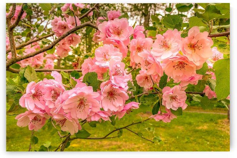 Pink crabapple flowers. by Daniel Ouellette