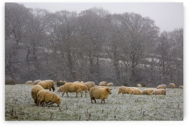 A flock of sheep by Leighton Collins