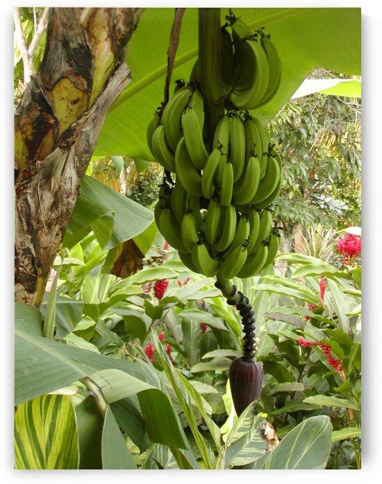 Banana tree by by Tara
