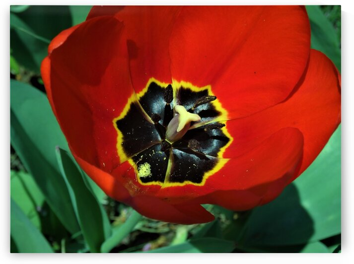 Red Tulip by by Tara