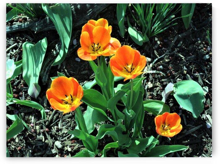 Orange Tulips by by Tara