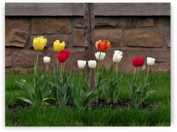 Tulips by by Tara