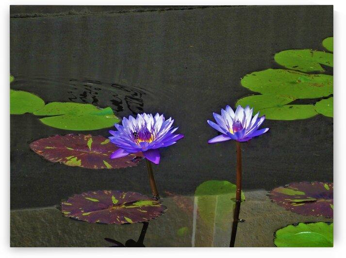 Purple WaterLilies by by Tara