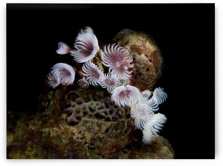Underwater Anemone cordial by AleSivi79