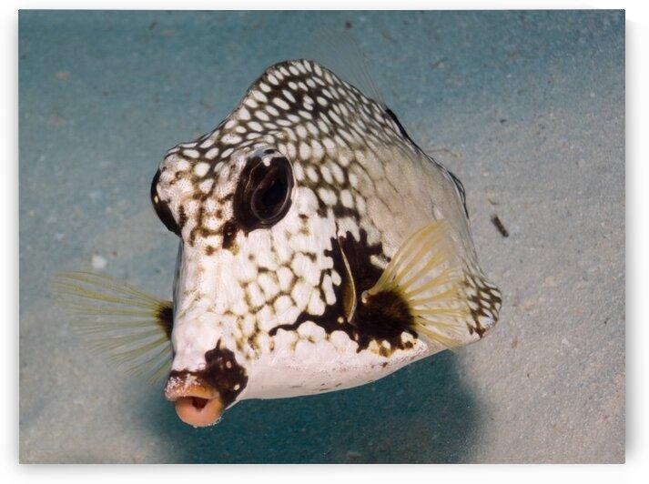Underwater Boxfish by AleSivi79