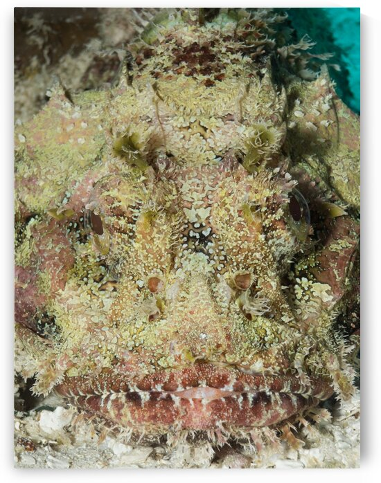 Frogfish camouflage  by AleSivi79