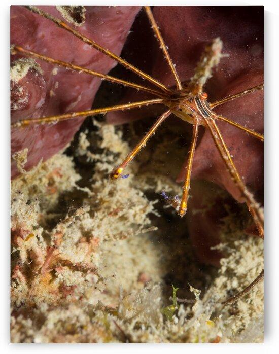 Underwater crab by AleSivi79