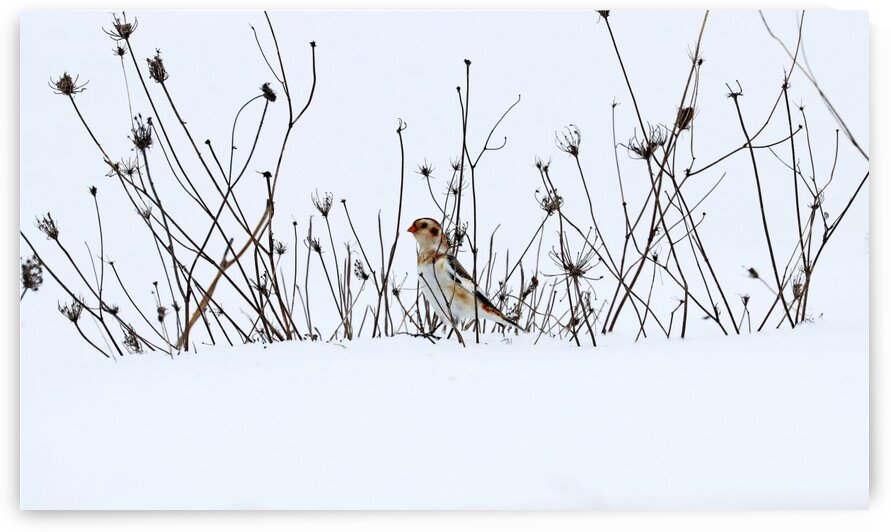 Snow Bunting Out For A Stroll by Deb Oppermann
