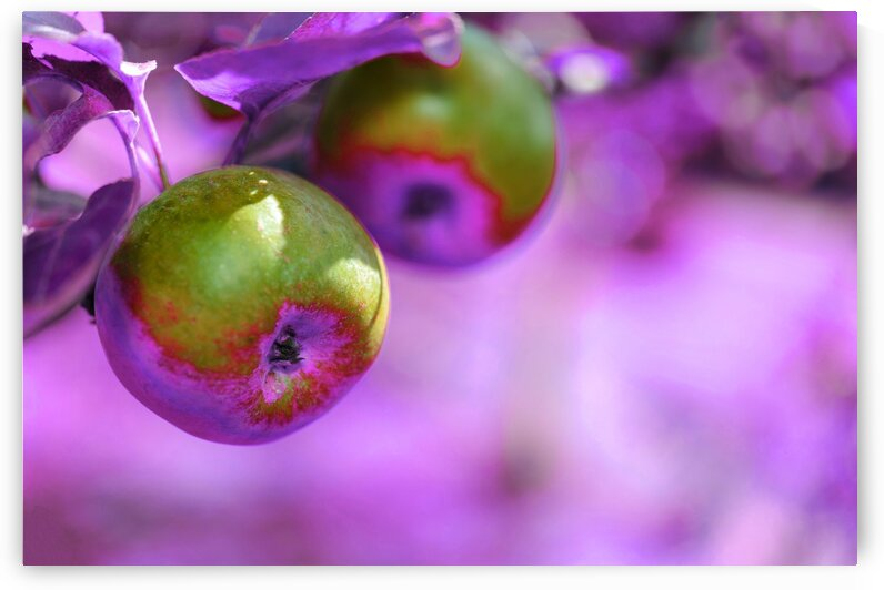 Apples   Infrared   Purple by ASAR STUDIOS