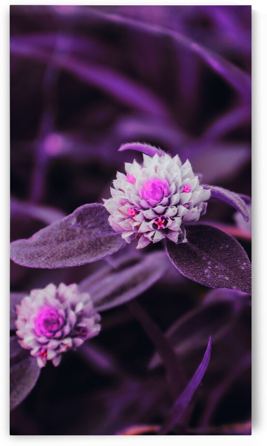 Blooming white clover on grassy meadow   Infrared   Purple by ASAR STUDIOS