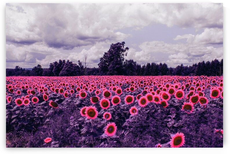 Bed of Sunflower Field   Infrared   Purple by ASAR STUDIOS