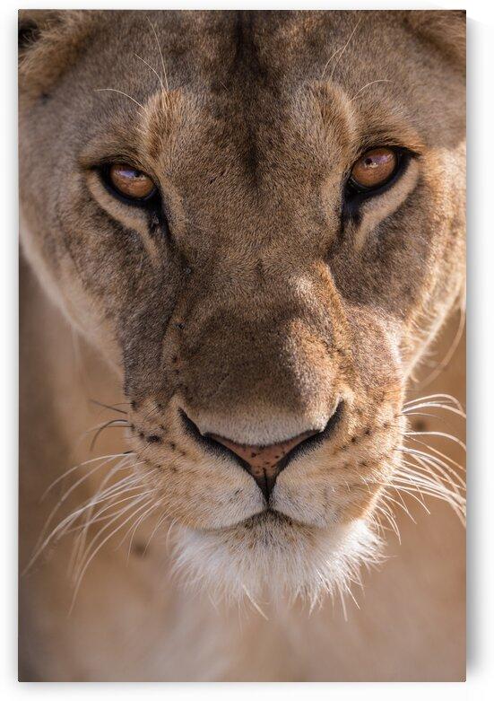 Lioness Portrait by Lynnette Brink
