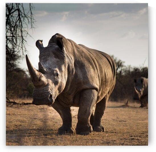 Rhinos walking by Lynnette Brink