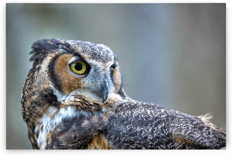 Great Horned Owl ap 2861 by Artistic Photography