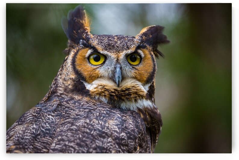 Great Horned Owl ap 2860 by Artistic Photography