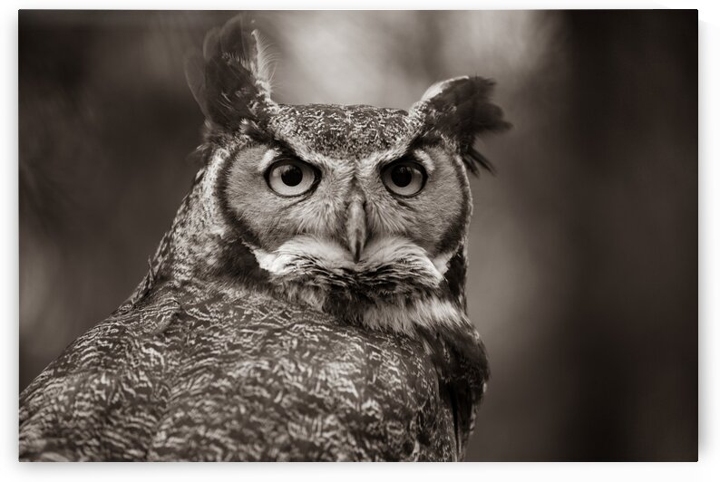 Great Horned Owl ap 2860 B&W by Artistic Photography