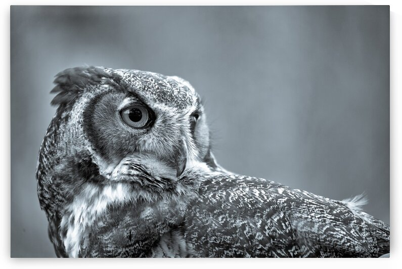 Great Horned Owl ap 2861 B&W by Artistic Photography