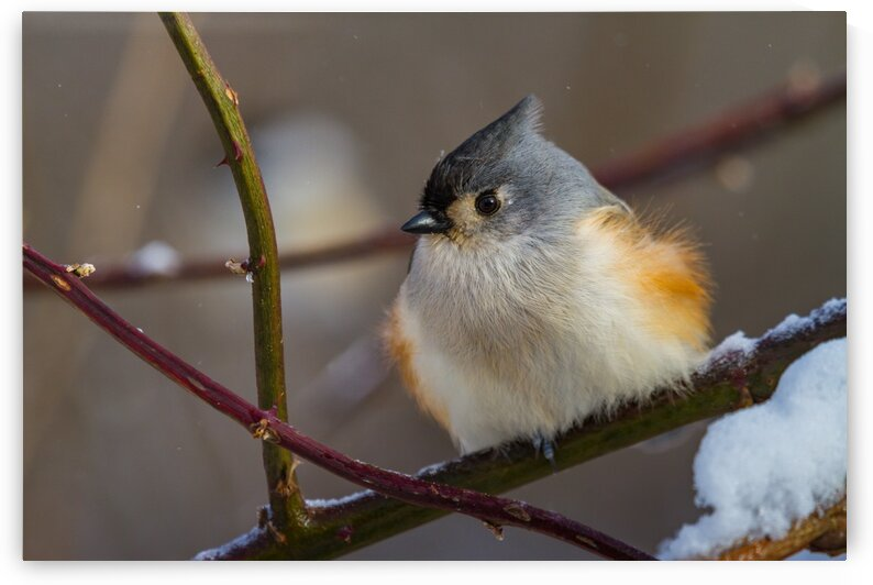 Titmouse ap 1864 by Artistic Photography