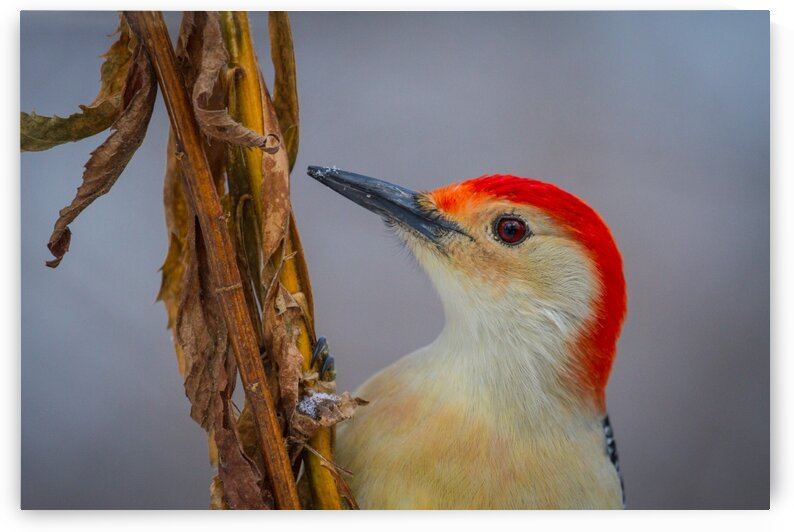 Red Bellied Woodpecker ap 1817 by Artistic Photography