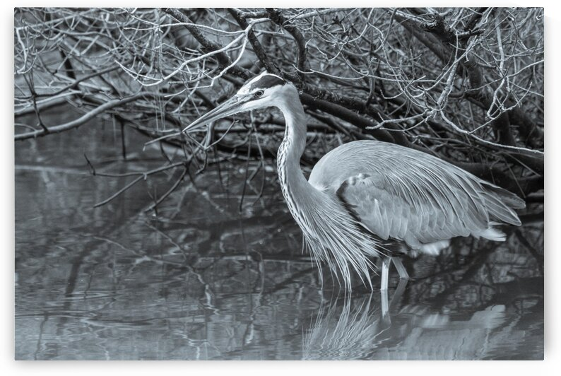Great Blue Heron ap 1840 B&W by Artistic Photography