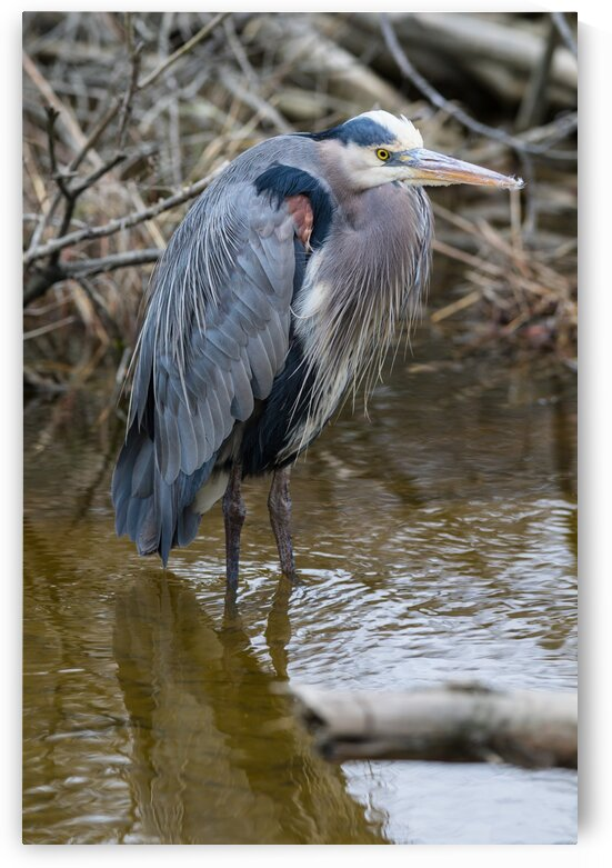 Great Blue Heron ap 2810 by Artistic Photography