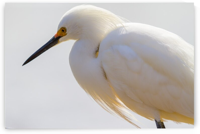 Snowy Egret ap 1603 by Artistic Photography