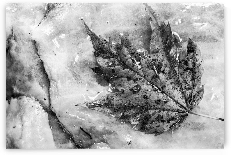 Leaf ap 1953 B&W by Artistic Photography