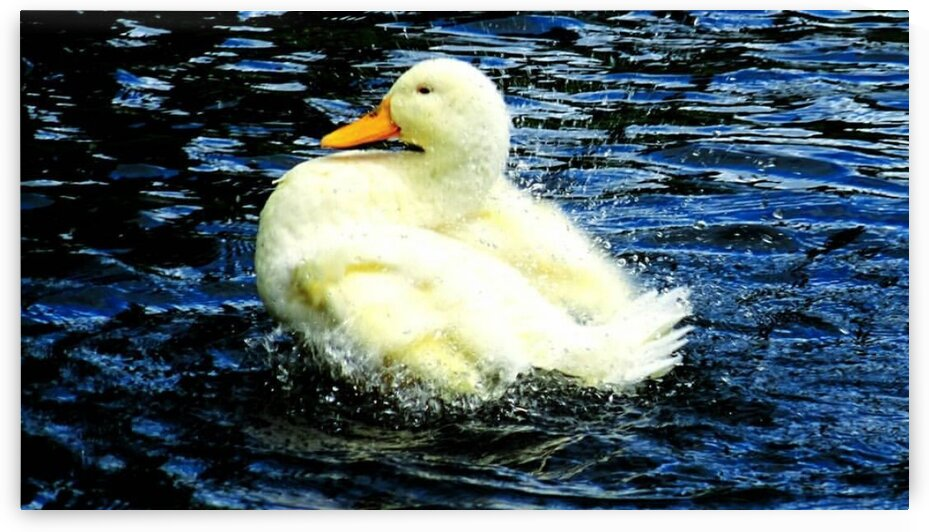 Duck surrounded by water droplets by Roseanna content