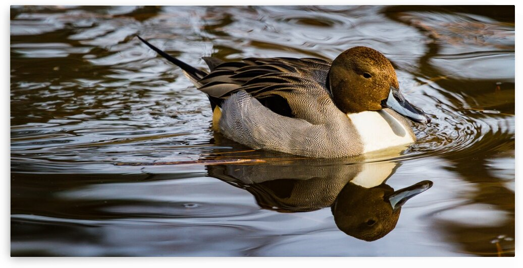 Pintail ap 1850 by Artistic Photography