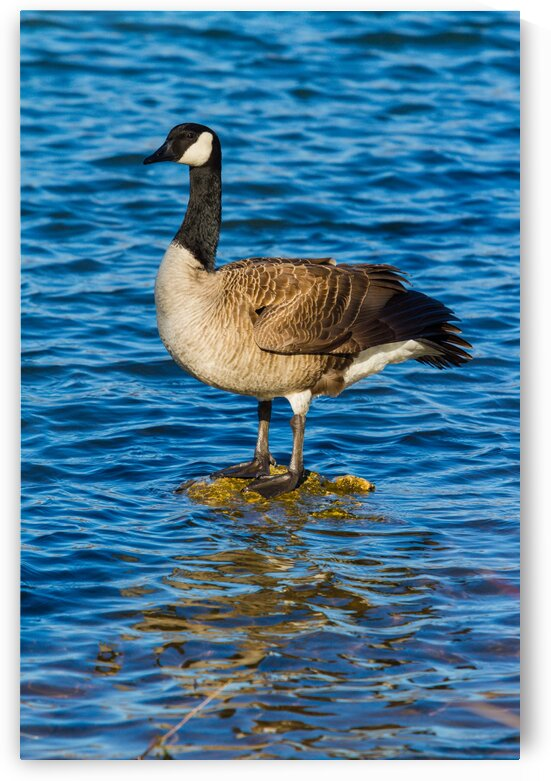 Canada Goose ap 1596 by Artistic Photography