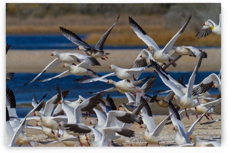 Snow Geese ap 1856 by Artistic Photography