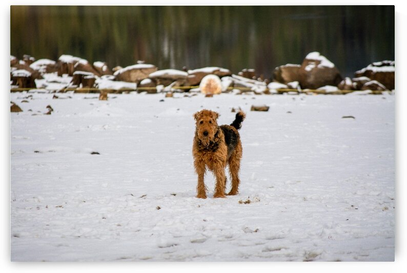 Percival in the Snow at Pinecrest Lake by Greg Scafidi Photography