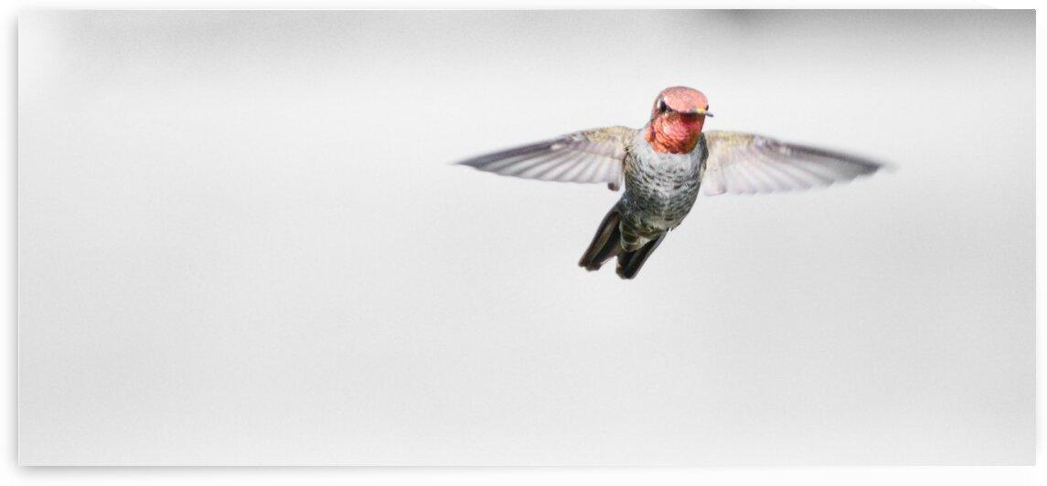 Ruby Headed Hummingbird by Greg Scafidi Photography